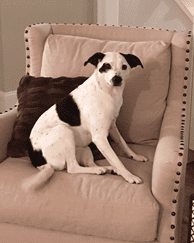 Martha the dog sitting on a chair